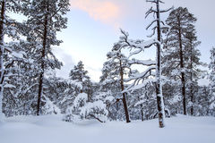 Cold sunset in the pine forest Royalty Free Stock Photos