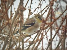 Cold weather goldfinch Stock Images