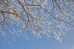 Cold weather. Rime on tree branches against the sky Royalty Free Stock Photos
