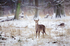Cold winter. A deer in the freezing winter Stock Photos