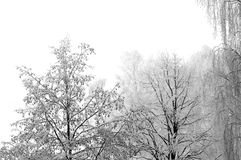 Cold winter day frost fresh snow, isolated horizontal closeup, large detailed snowy branches royalty free stock photo