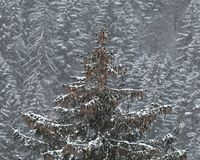 Heavy snow storm into the forest Royalty Free Stock Photos