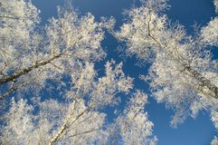 Cold winter day, rime on trees. Cold winter day, beautiful hoarfrost and rime on trees Royalty Free Stock Image