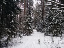 Cold winter day in the snow covered forest with the dog. stock photo