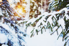 Cold  winter day in the snowy winter forest. Spruce tree under the snow Stock Image