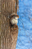 Cold Winter Day and Squirrel in the Park. Boston. Royalty Free Stock Photo