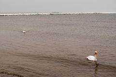 On a cold winter day, two white swans swim in the Baltic Sea. royalty free stock images