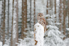 Cold winter forest with bird. Tawny Owl snow covered in snowfall during winter, snowy forest in background, nature habitat. Wildli. Fe royalty free stock photo