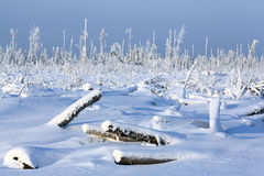 Cold winter forest landscape snow fir Royalty Free Stock Image