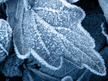 Cold winter frosty leaf background. Cold blue frosty winter icy leaf background Royalty Free Stock Photos