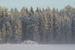 Cold winter landscape with high frosty high trees Stock Photography