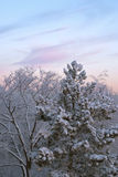 Cold winter morning. Dawn: white frozen trees full of snow and pink clouds, G�teborg, Sweden Royalty Free Stock Image