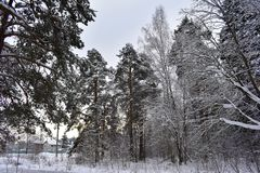 Cold winter on the outskirts of the city begins winter forest. Fluffy snow covered the forest. In windless weather dormant trees, covered with frost, stand as stock photography