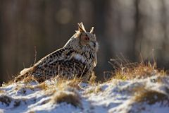 Cold winter with rare bird. Big bird in snow. Eastern Siberian Eagle Owl, Bubo bubo sibiricus, sitting on hillock with snow in the. Forest royalty free stock photos