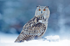 Cold winter with rare bird. Big Eastern Siberian Eagle Owl, Bubo bubo sibiricus, sitting on hillock with snow in the forest. Birch. Cold winter with rare bird stock image
