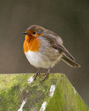 Cold Winter Robin Royalty Free Stock Photo