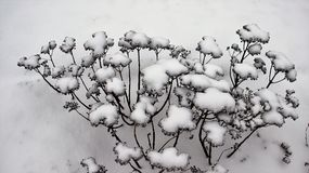 Cold winter snow and ice covered dry flower Stock Photography