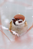 Cold winter with songbird, detail head portrait. Bird Tree Sparrow, Passer montanus, sitting on branch with snow, during winter. S Royalty Free Stock Images