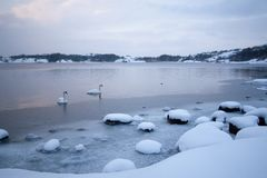Cold Winter Swans Stock Image