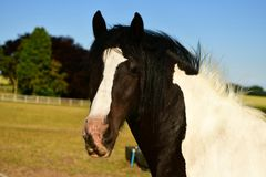 Cold-blooded horse, black and white marks. Coldblood draft horse on a farm in the UK Scarborough, strong and massive horses Are usually calmer, less mobile and royalty free stock photography