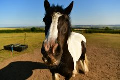 Cold-blooded horse, black and white marks. Coldblood draft horse on a farm in the UK Scarborough, strong and massive horses Are usually calmer, less mobile and stock image