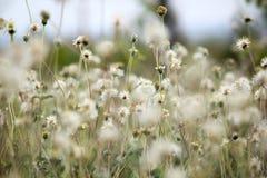Coldenia procumbens Linn στη φύση στοκ φωτογραφίες