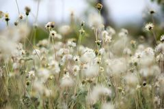 Coldenia procumbens Linn i natur arkivfoton