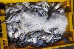 Colding de vissen Royalty-vrije Stock Fotografie