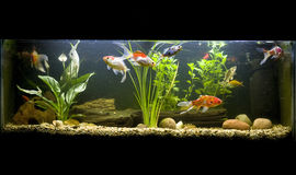 Coldwater fish tank. With goldfish stock photo