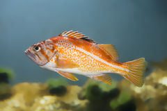 Coldwater Sea fish Royalty Free Stock Images