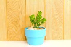 Coleção da árvore da margarida no flowerpot azul. Imagem de Stock