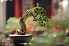 Coleção da árvore de Bonzai Fotografia de Stock Royalty Free