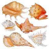 Coleção da concha do mar isolada no branco Imagem de Stock Royalty Free