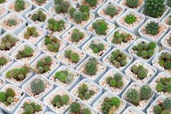A coleção da exposição da planta diminuta do cacto no potenciômetro branco no jardim mínimo do projeto do estilo foto de stock royalty free