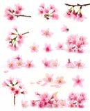 Coleção da flor de cereja foto de stock royalty free