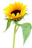 Coleção da flor de Sun Foto de Stock Royalty Free