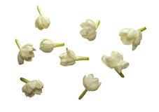 Coleção da flor do jasmim isolada Foto de Stock Royalty Free