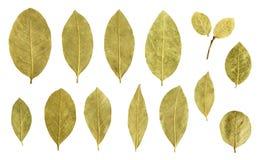 Coleção da folha de louro isolada no branco Imagem de Stock