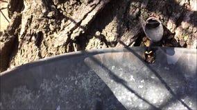 Coleção da seiva da árvore de bordo video estoque