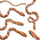 Coleção da serpente de milho seis imagens de stock