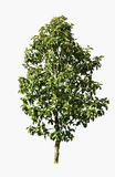 Coleção das árvores verdes bonitas isoladas Fotografia de Stock Royalty Free