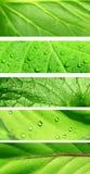 Coleção das bandeiras com textura verde da folha Foto de Stock
