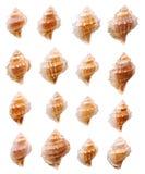 Coleção das conchas do mar Imagens de Stock Royalty Free