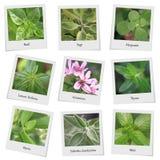 Coleção das ervas e das especiarias Fotografia de Stock