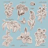 Coleção das ervas em etiquetas no estilo do esboço ilustração stock