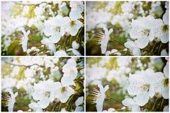 Coleção das flores de cerejeira brancas fotos de stock royalty free