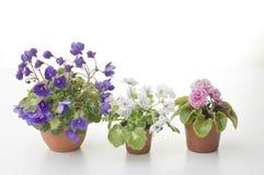 Coleção das flores violetas nos potenciômetros Fotos de Stock