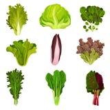 Coleção das folhas frescas da salada, radicchio, alface, espinafre, rúcula, rucola, mache, agrião, iceberg, collard ilustração do vetor