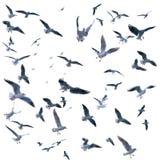 Coleção das gaivotas em voo Pássaros de mar Fotografia de Stock