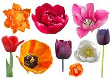 Coleção das tulipas isoladas no fundo branco imagem de stock